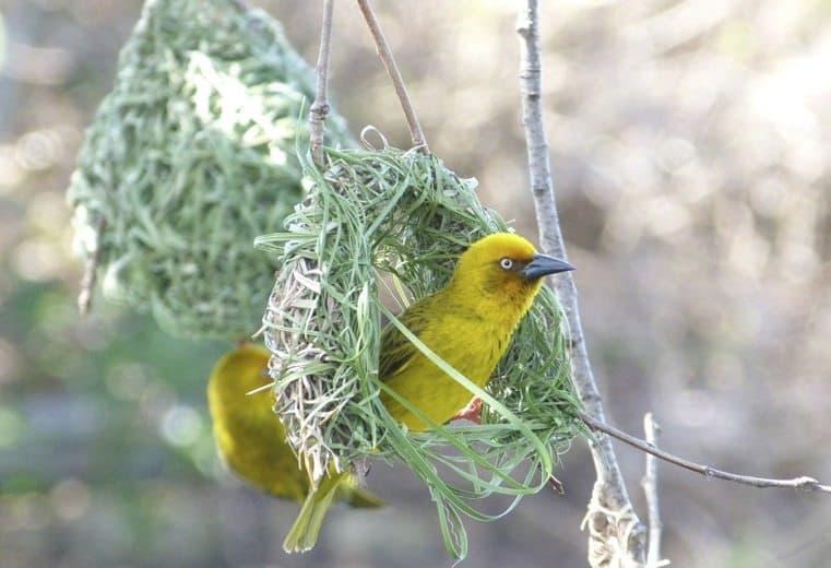 pájaro tejedor Weaver pajaro weaver tejedor cinco