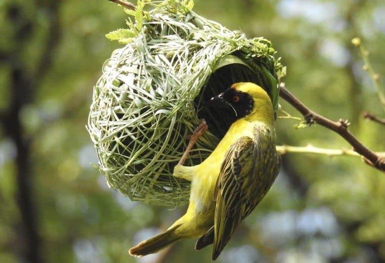 pájaro tejedor Weaver pajaro weaver tejedor dos