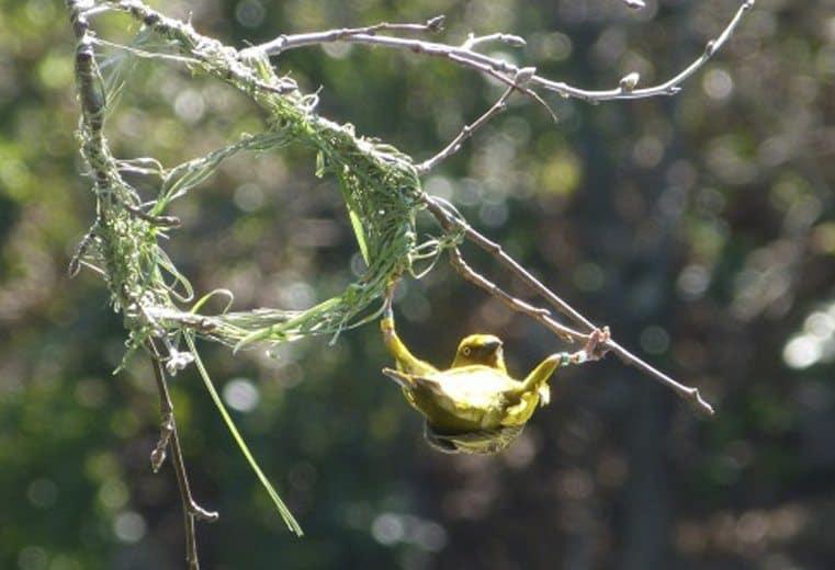 pájaro tejedor Weaver