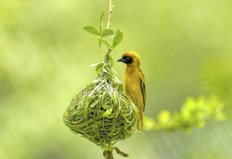 pájaro tejedor Weaver dos