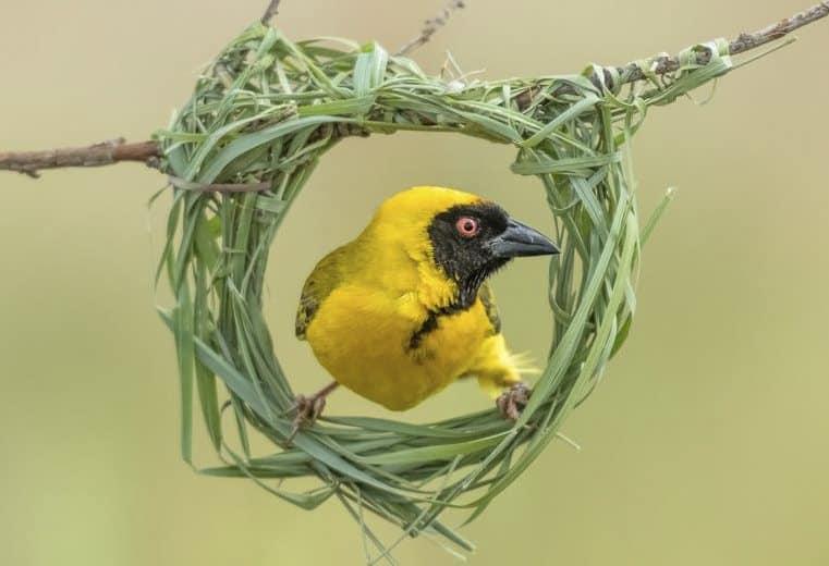 pájaro tejedor weaver cuatro
